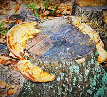 Shelf fungus by ♥⊱ B. Randi Bailey