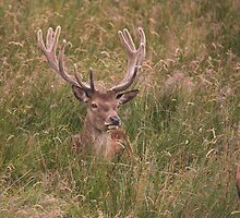 Red Deer by osdog