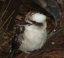 Laugh Kookaburra, gay your life must be. by Panda
