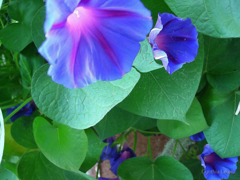 Morning Glory Watercolor by Cynthia Lewis