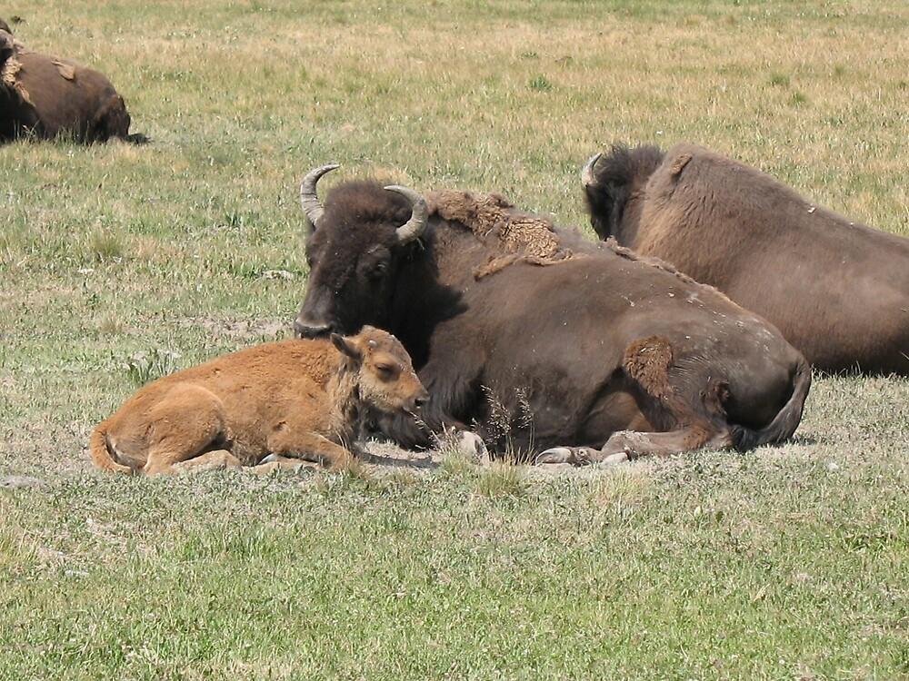buffalo family by Brynne Kaufmann