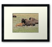 buffalo family Framed Print