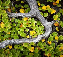 Wrapped Fagus, Mt Field, Tasmania by Jim Lovell