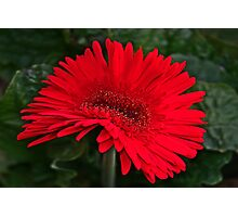 Red Gerber Daisy Photographic Print
