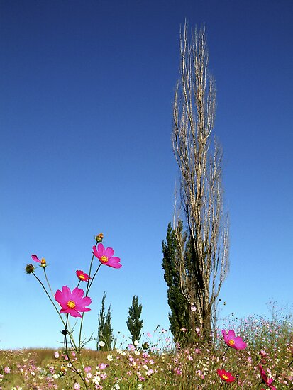Cosmos and Poplar by robjbez