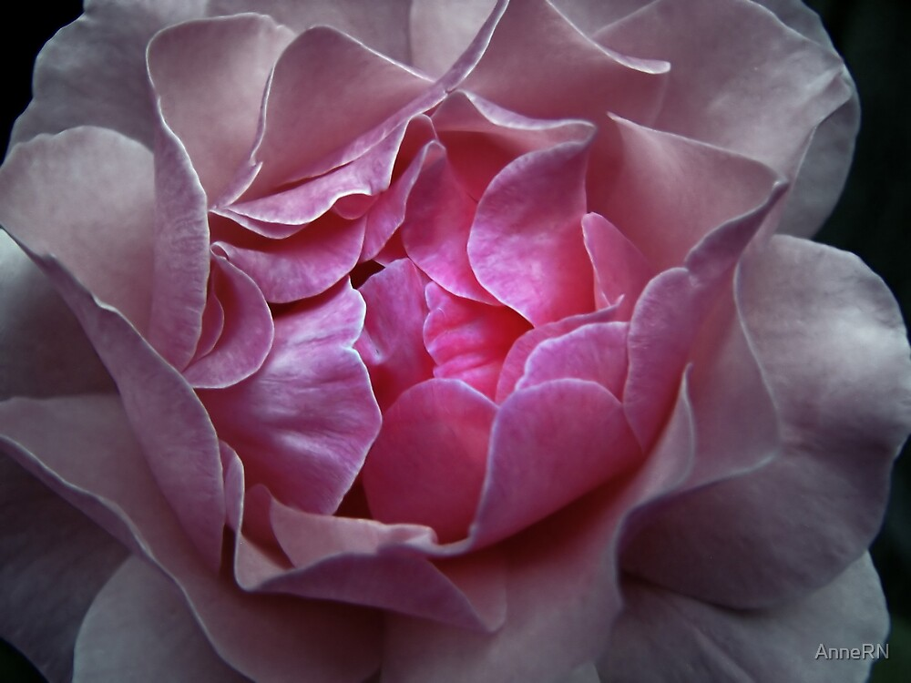 Layers of a Rose by AnneRN