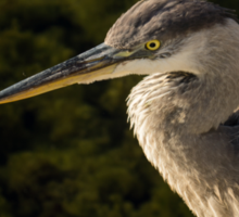 Focused Hunter - a Great Blue Heron Watching for Fish Sticker