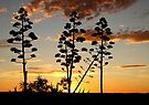 """""""Garingbome"""" Silhouette... The Sisal Plant (Captured from my backyard) by Qnita"""