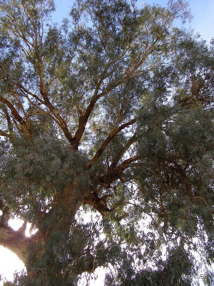 Gum Tree by shirlea62