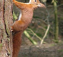 Red Squirrel by mervynw