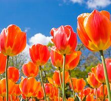 Tulip by Craig Scarr