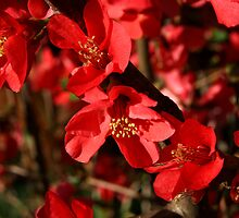 Quince by Gary L   Suddath