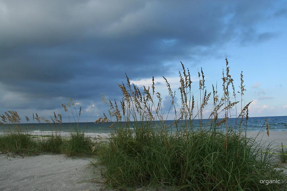 Sea Oats by the Gulf/Indian Rocks Beach, Florida by organic