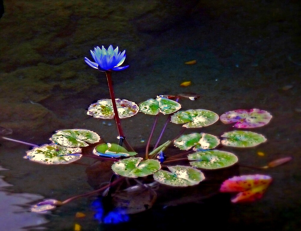 Blooming Water Lily by coastalfog