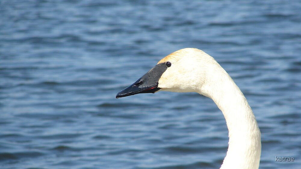 Trumpeter Swan Closeup by katrae