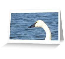 Trumpeter Swan Closeup Greeting Card
