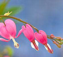 Bleeding Hearts by jayobrien