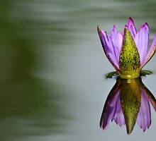 Floating Waterlilly by jayobrien