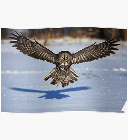 In your face - Great Grey Owl Poster