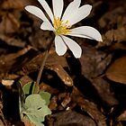 Bloodroot by Otto Danby II
