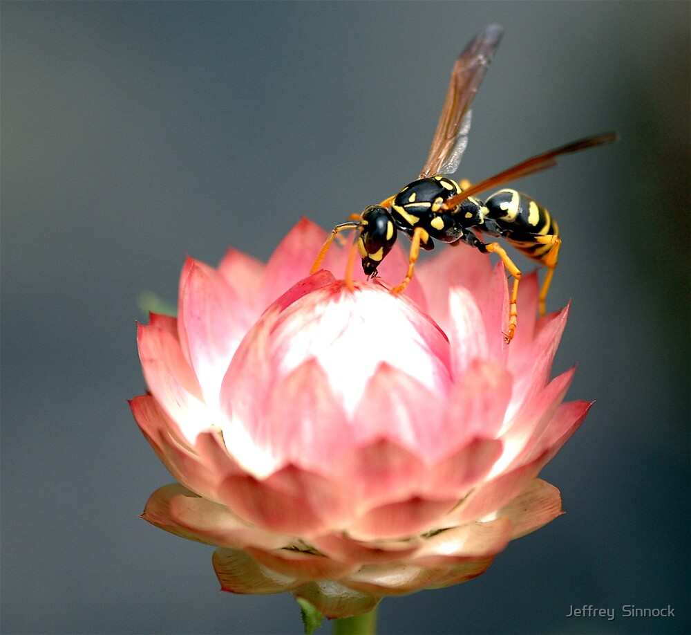 wasp on flower by Jeffrey  Sinnock