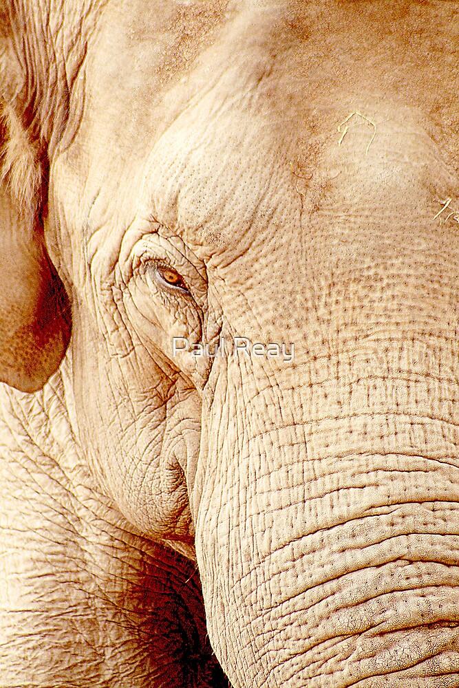 Elephant Portrait by Paul Reay