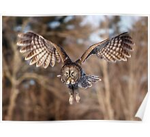 Great Grey Owl swoops down Poster