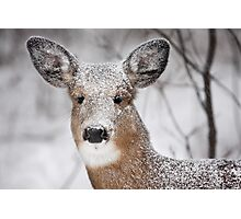 I hate snow! - White-tailed Deer Photographic Print