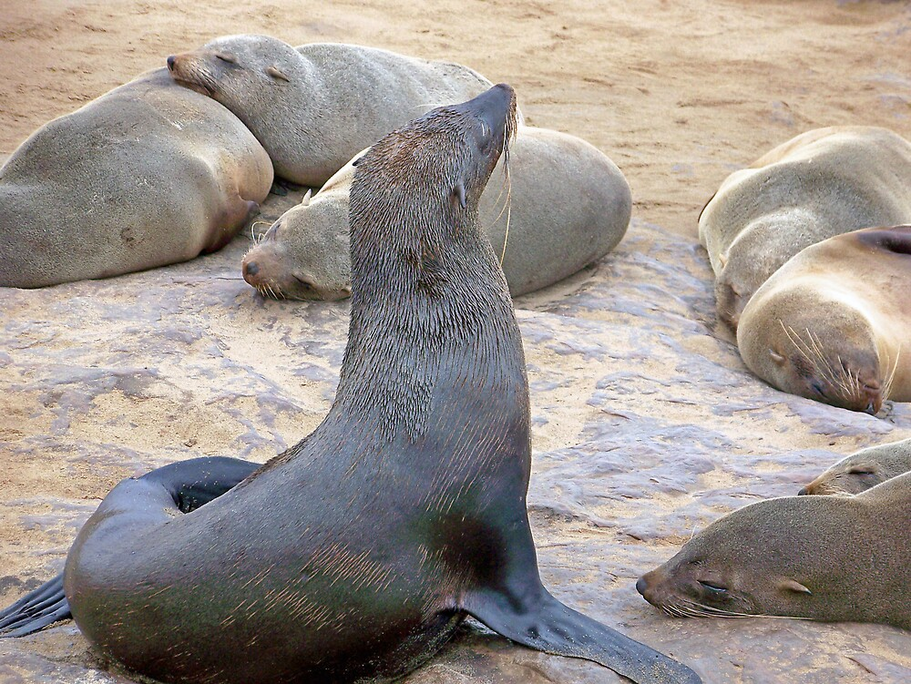 Cape Fur Seal Posing by tj107