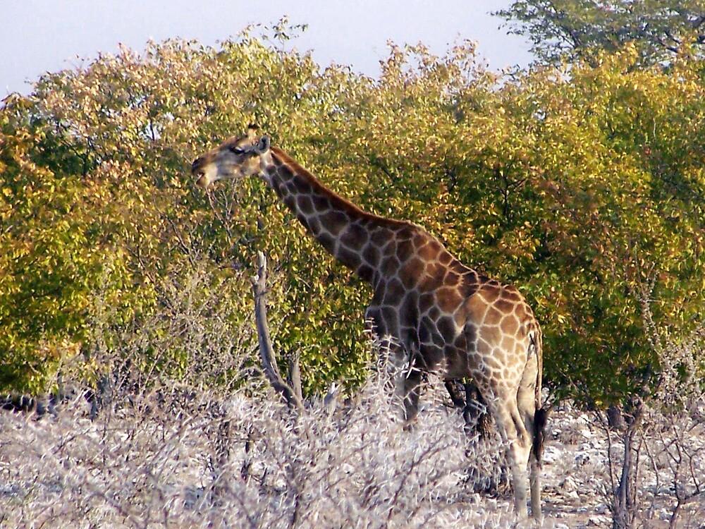 Giraffe Eating by tj107