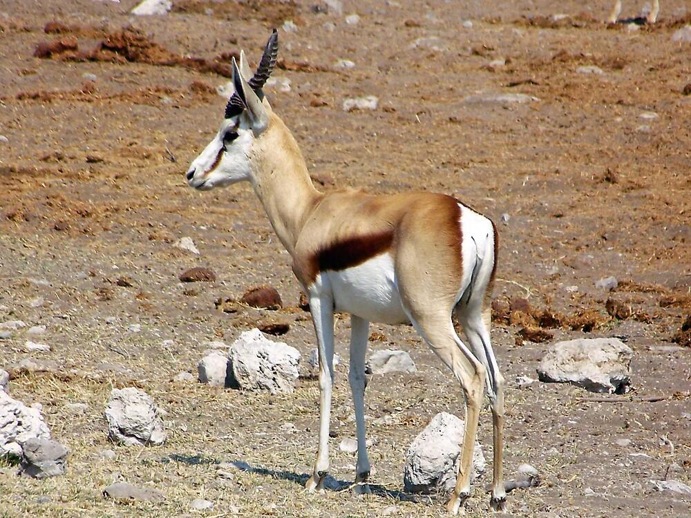 Springbok by tj107