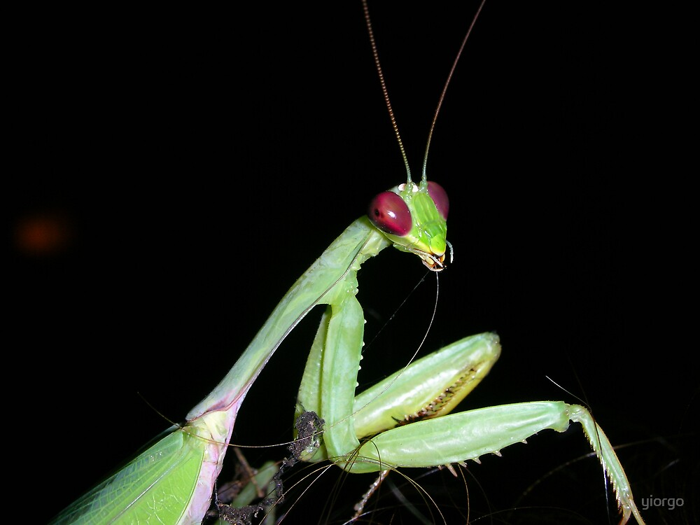 Preying Mantis by yiorgo