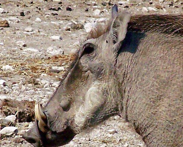 Warthog by tj107