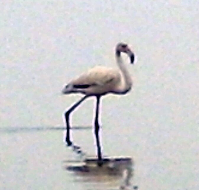 flamingo by mj007