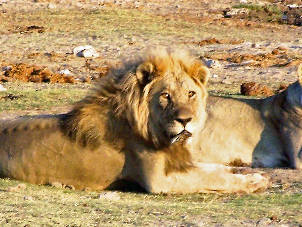 Male Lion staring at its prey! by tj107