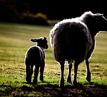 Sheep by Viv van der Holst