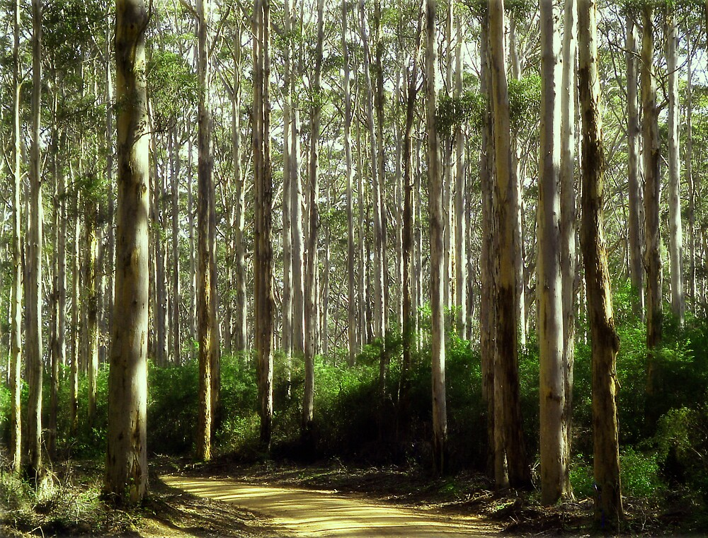 Karri forrest by alistair mcbride