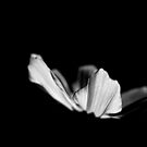 Black & White Floral Photography - Cosmos -  by PB-SecretGarden