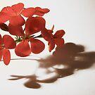 Geranium - Floral Photography by PB-SecretGarden