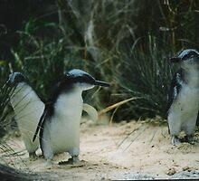 Life size Fairy Penguins by Danpatterson