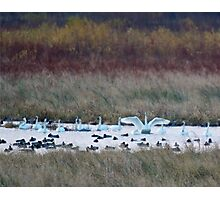Trumpeter Swans and Water Fowl Photographic Print