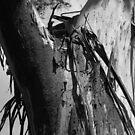 Scary Tree- Manna Gum, Longridge Track by Ben Loveday