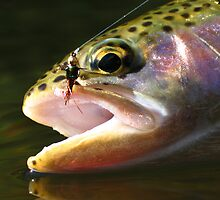 trout by Dan Blackstock