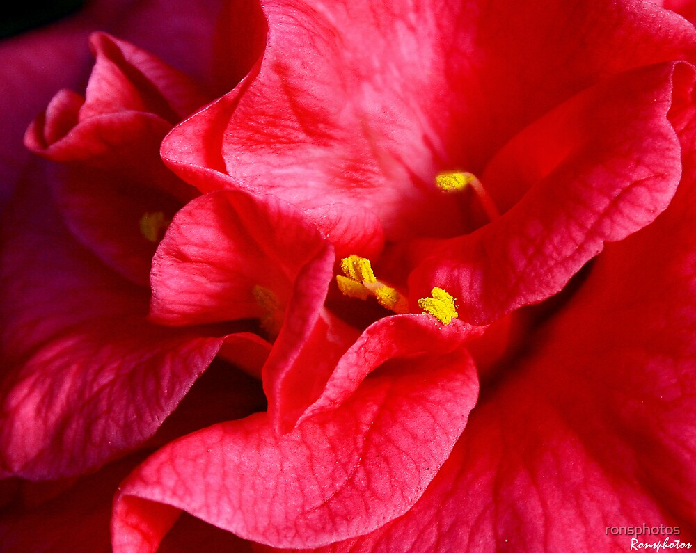 Closeup of Camellia flower by ronsphotos