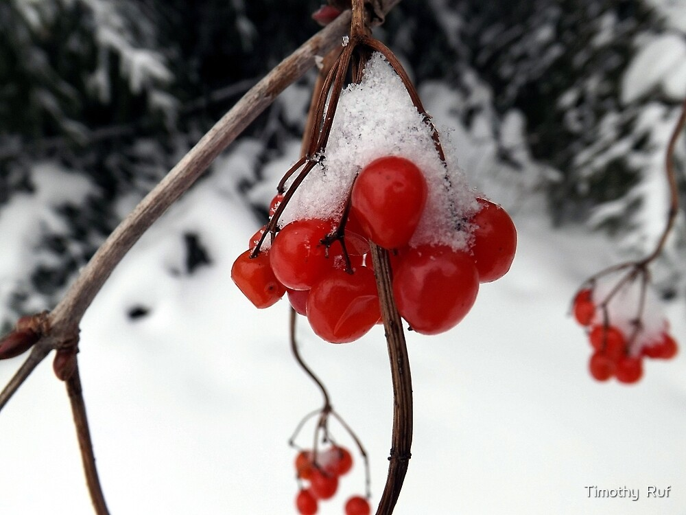 Snow Berries by Timothy  Ruf