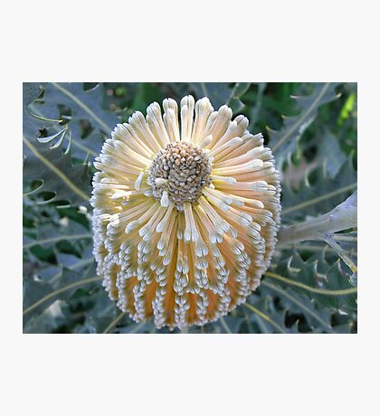 Banksia beauty Photographic Print