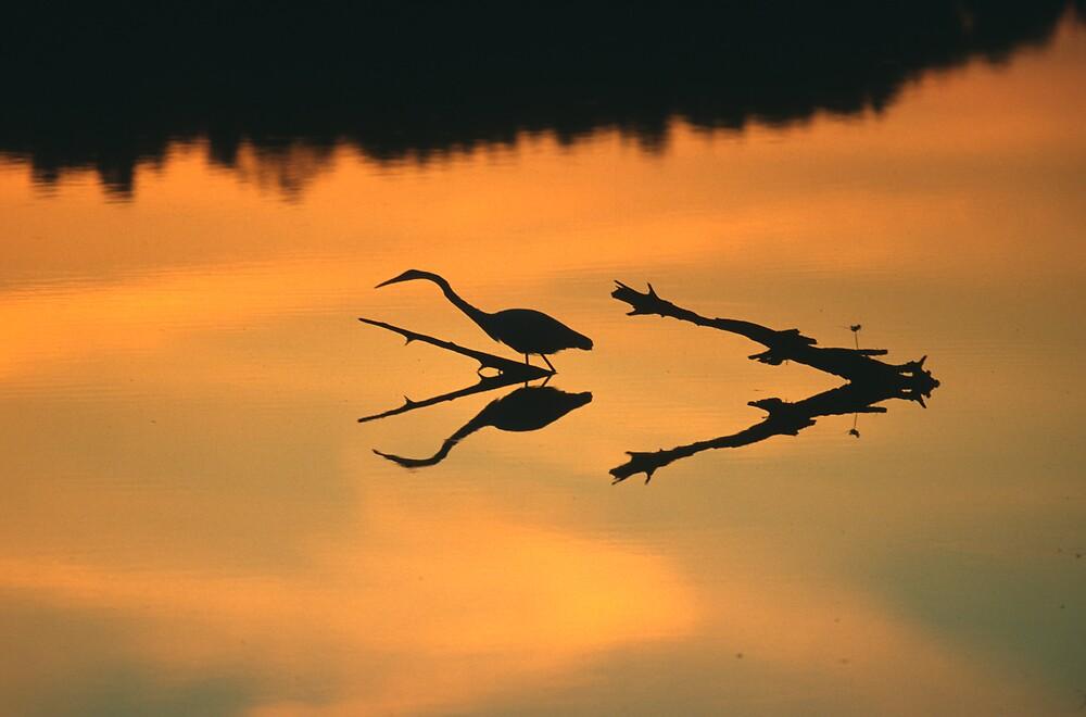 Egret at Sunset by jayobrien