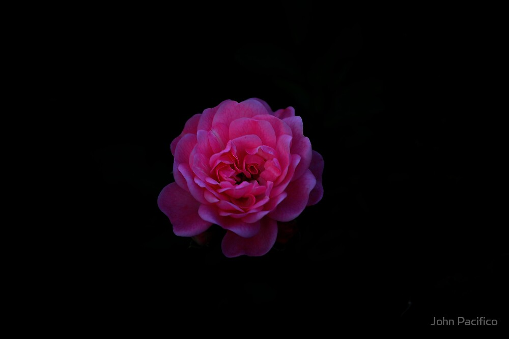 Moonlite Rose by John Pacifico