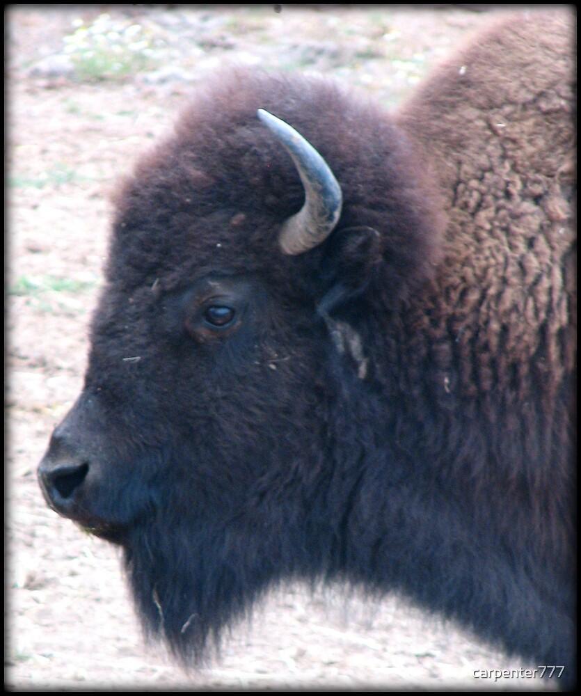Buffalo by carpenter777
