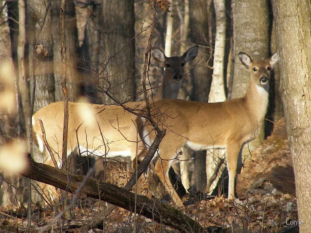 2 Deer in Illinois by Lorrie